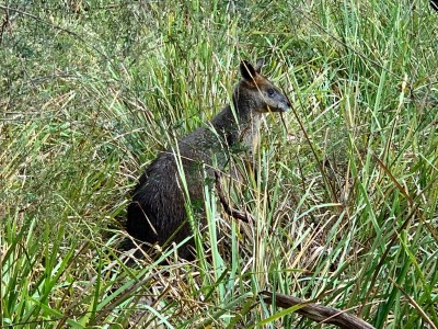 SARCNET Search And Rescure Team Member - Wobberly the Wallaby